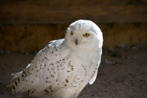 Owls -- photo courtesy of Doug Swinson